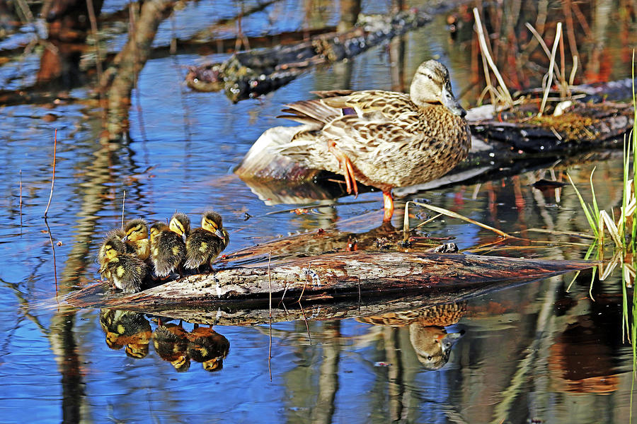 Mallard Family Reflections Photograph