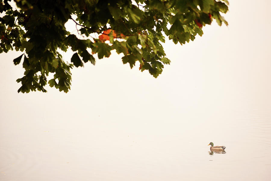 Mallard Photograph by Staci Grimes