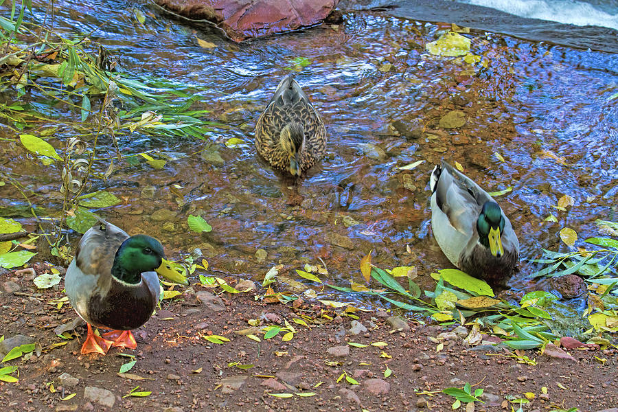 Mallards in Autumn Photograph by Alana Thrower