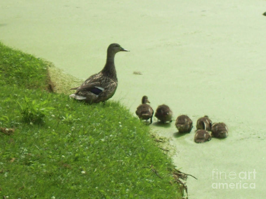 Duck Photograph - Mama And Ducklings by Mary Mikawoz
