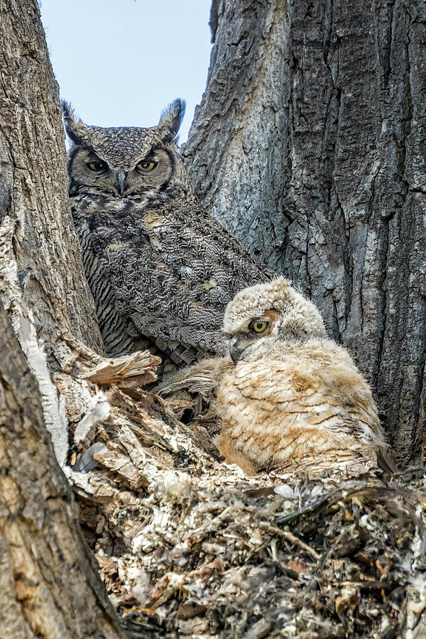 Mama Great Horned Owl With One Visible Owlet Photograph