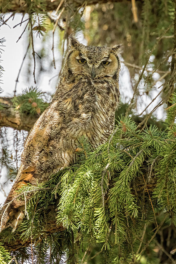 Mama Owl At The Headquarters Photograph