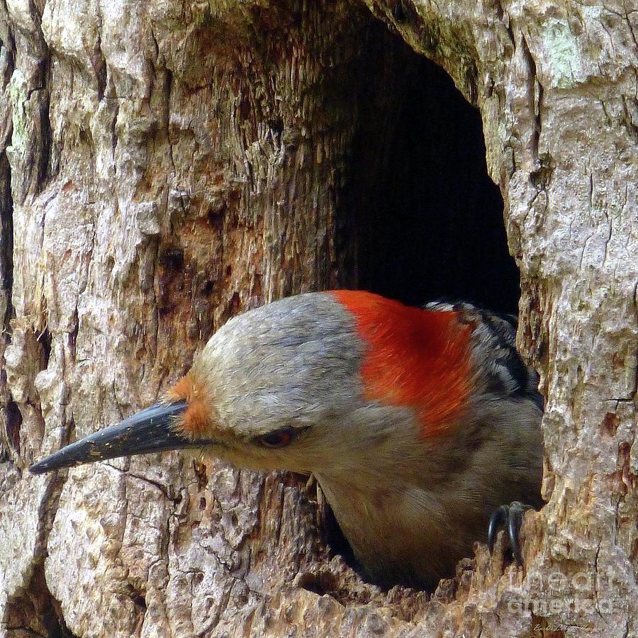 Mama Woodpecker Peeks Out Photograph