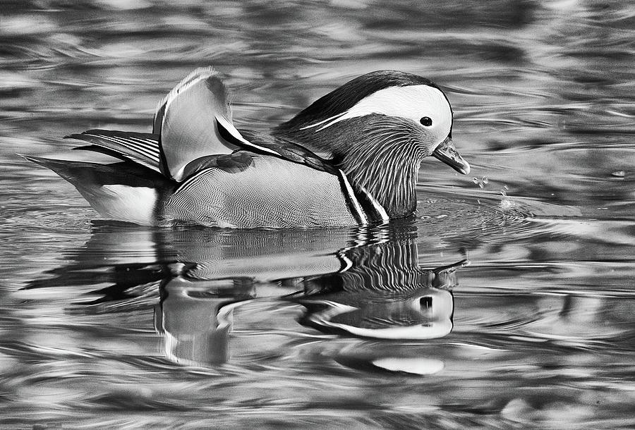 Mandarin Duck - Black And White Photograph