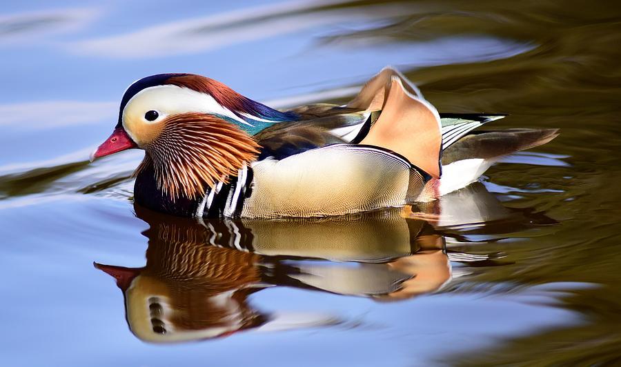 Mandarin Duck Photograph