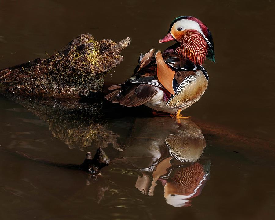 Mandarin Duck Reflections Photograph