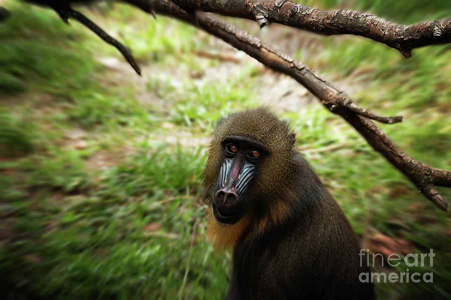 Female Photograph - Mandrill In The Field by Sharon Minish