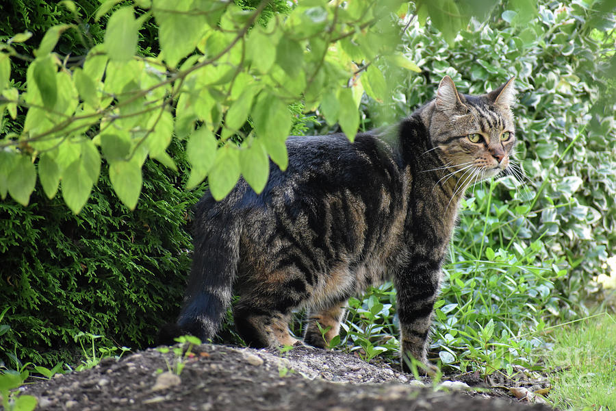 Cat Photograph - Manitou on His Morning Rounds by Rose De Dan