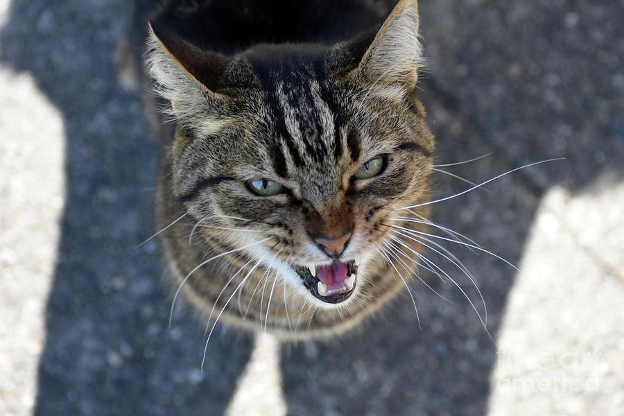 Cat Photograph - Manitou Voices His Opinion by Rose De Dan