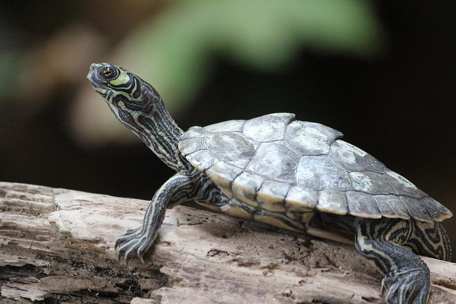 Map Turtle Photograph - Map Turtle by Callen Harty