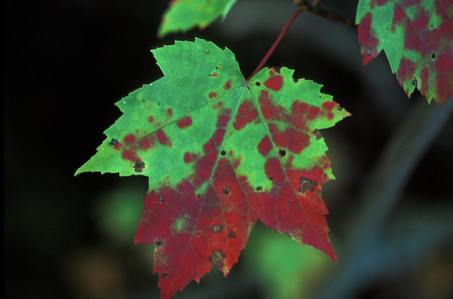 Upper Peninsula Photograph - Maple Leaf in Autumn by James C Richardson