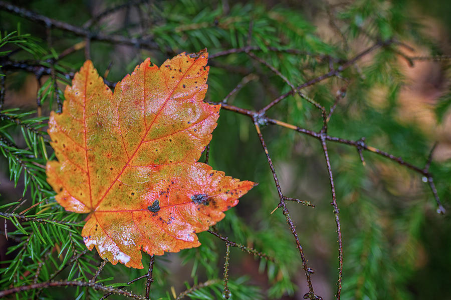 Maple Leaf on Pine Bough by Rick Berk
