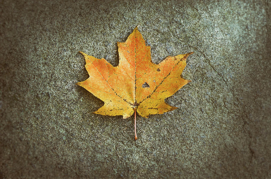 Maple Leaf On Stone Photograph