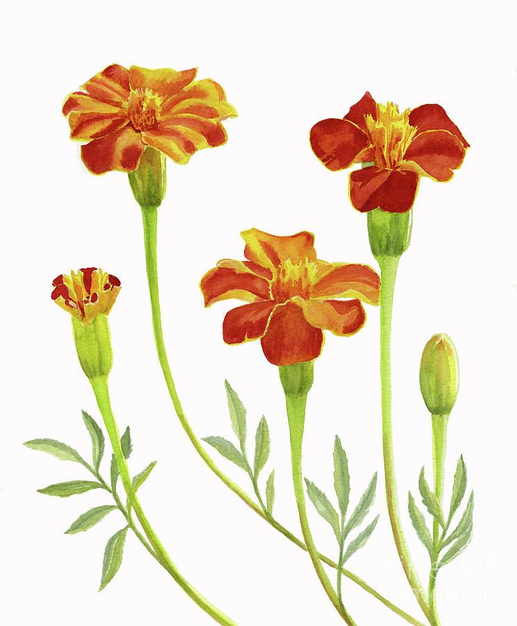 Marigold Painting - Marigold Flowers on White by Sharon Freeman