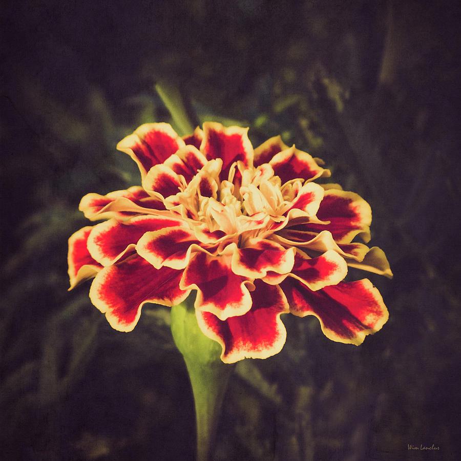 Marigold Zenith Red by Wim Lanclus