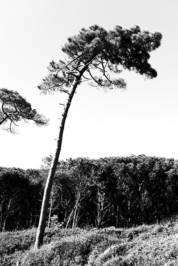 Maritime Pine Photograph