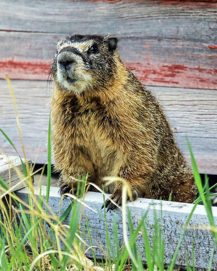 Marmot Photograph