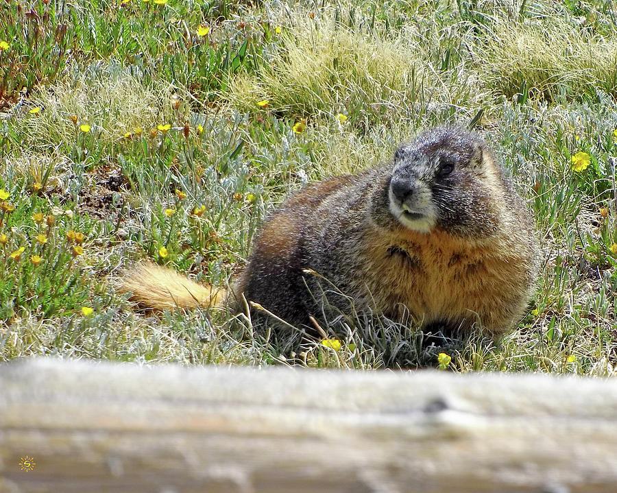 Marmot Meditations Photograph by Staci Grimes