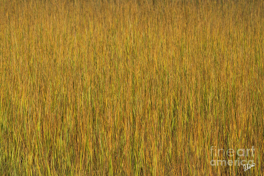 Marsh Grasses Photograph