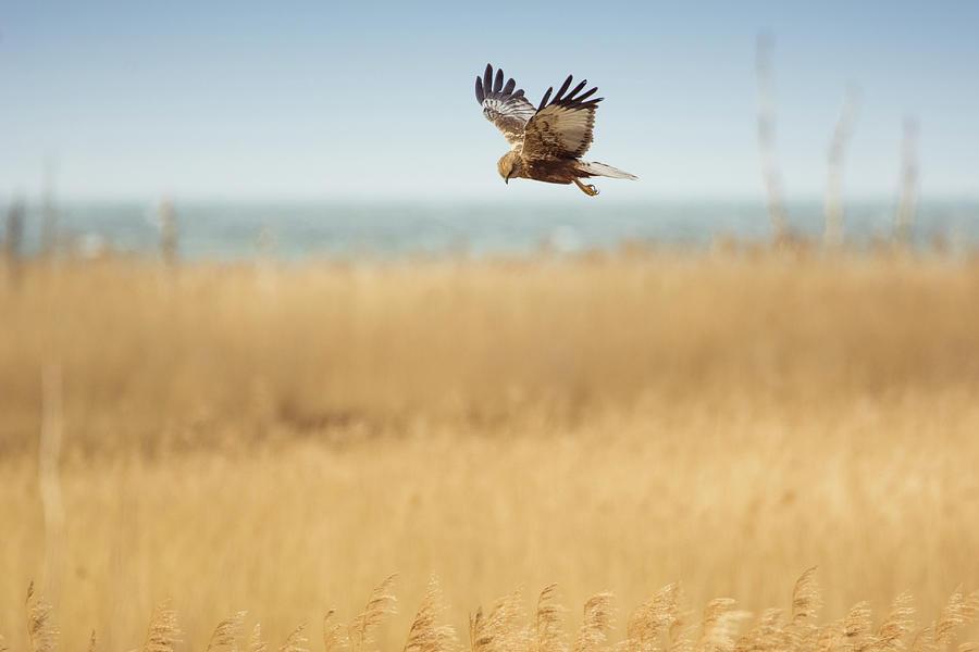 Marsh Harrier Flying Photograph