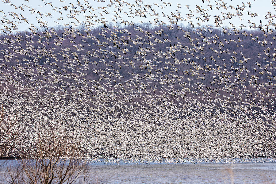 Mass Migration Of Snow Geese Photograph