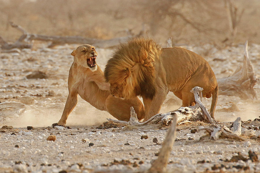 Africa Photograph - Mating Lions having a conflict of interest by MaryJane Sesto