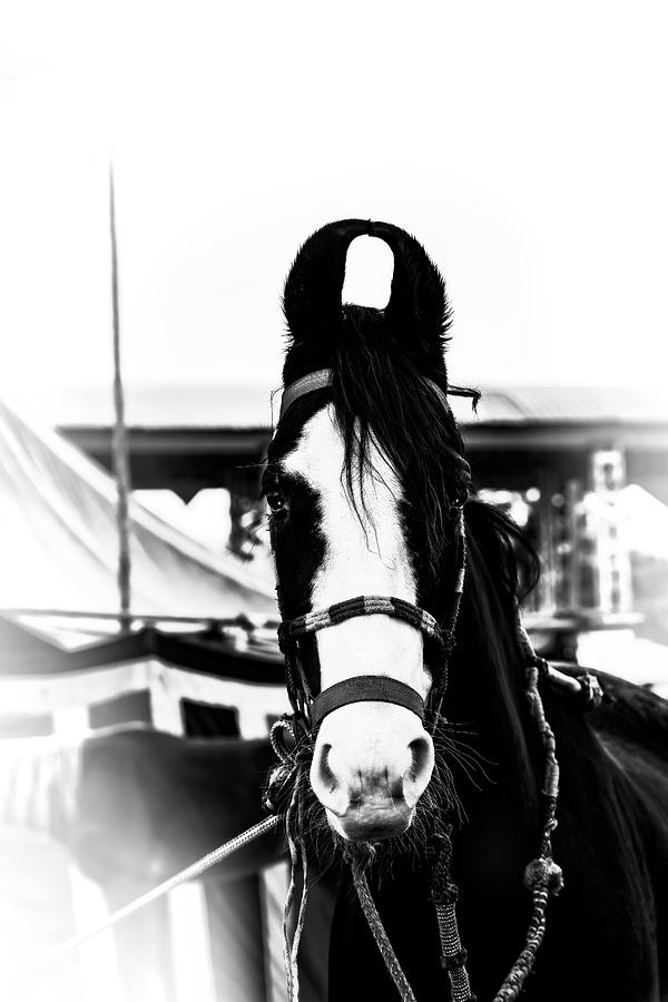 Mawari Horse of India in Black and White by Kay Brewer