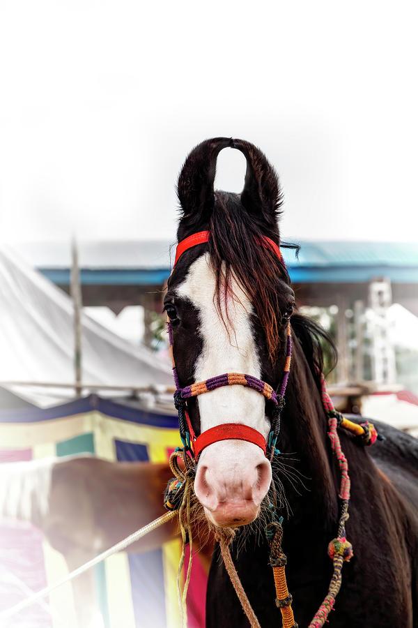 Mawari Horse of India by Kay Brewer