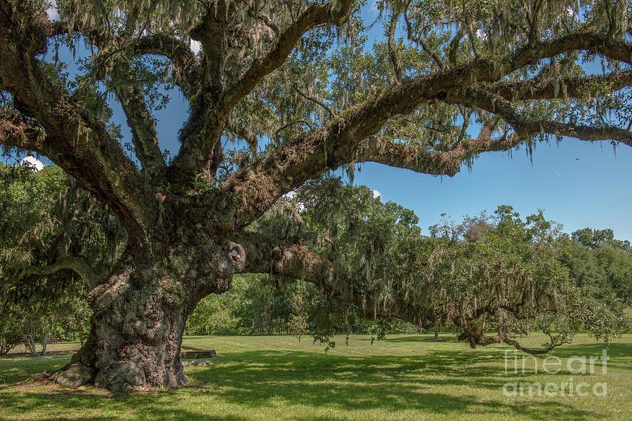 Mcleod Plantation - Majestic Live Oak Tree Photograph