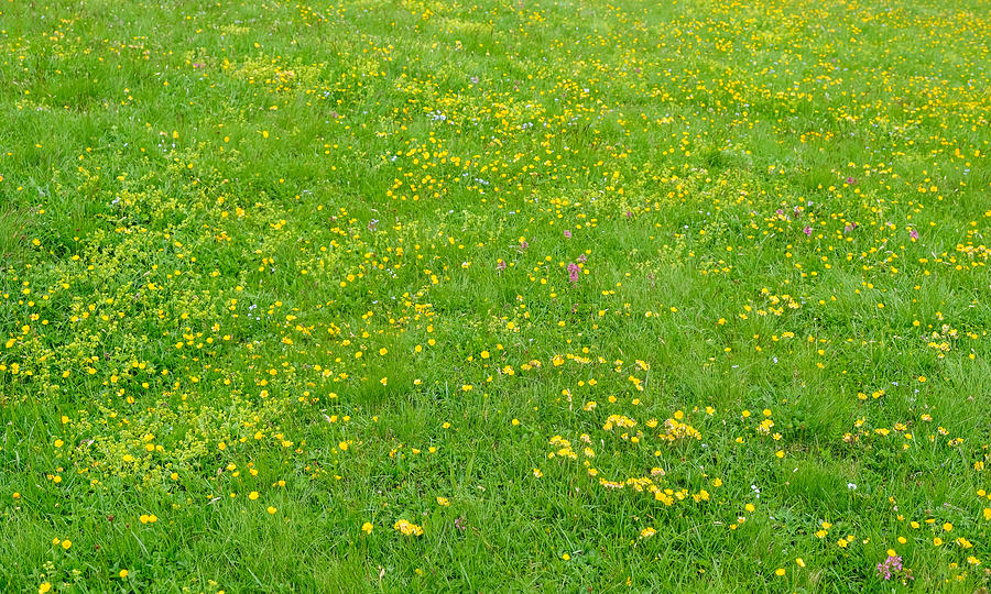 meadow of wild flowers of the Dolomites Alps on summer day Photograph