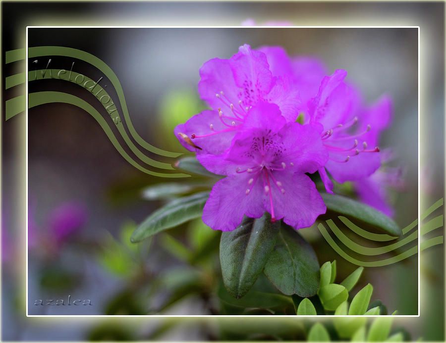 Melodious Azalea by Patti Deters