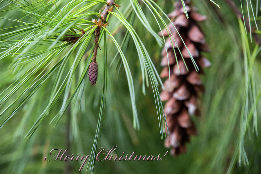 Merry Christmas Pine Cones by Sharon McConnell