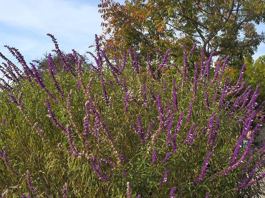 Mexican Sage by Richard Thomas