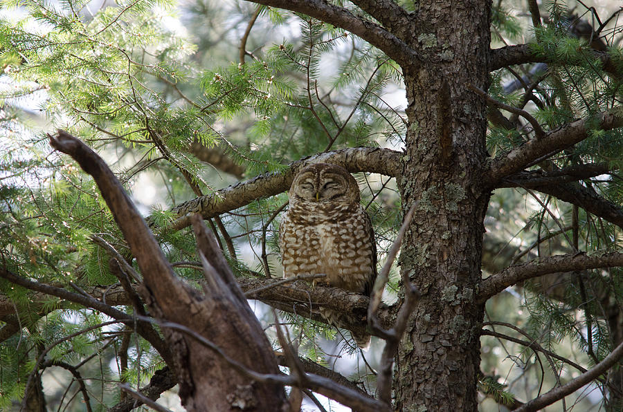 Mexican Spotted Owl Photograph