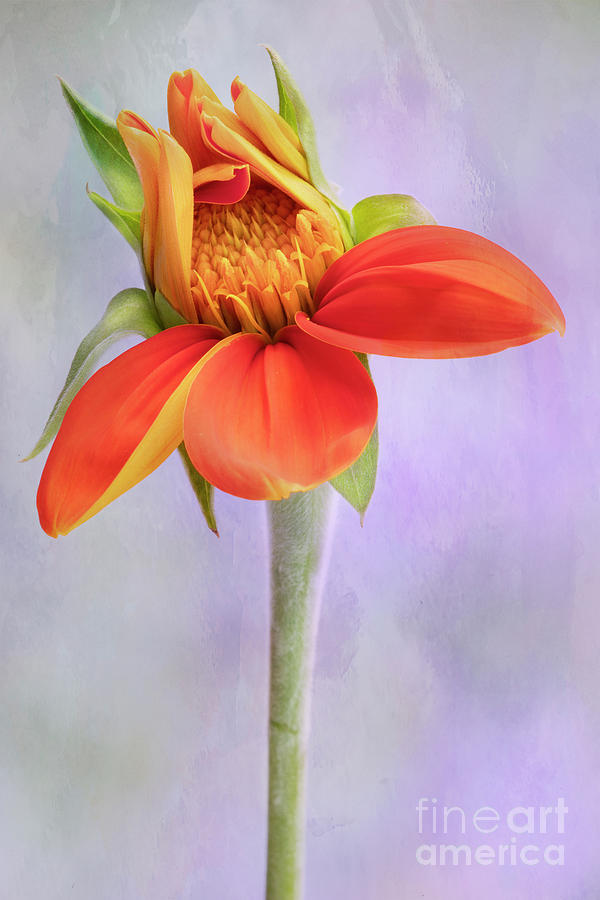 Mexican Flower Opening Photograph