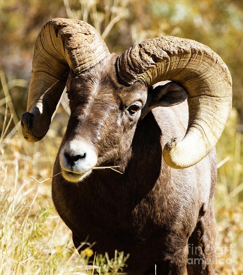 Mighty Ram Portrait by Steve Krull