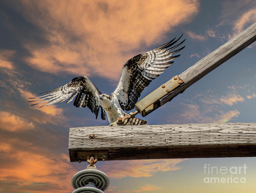 Mighty Wings - Osprey Photograph