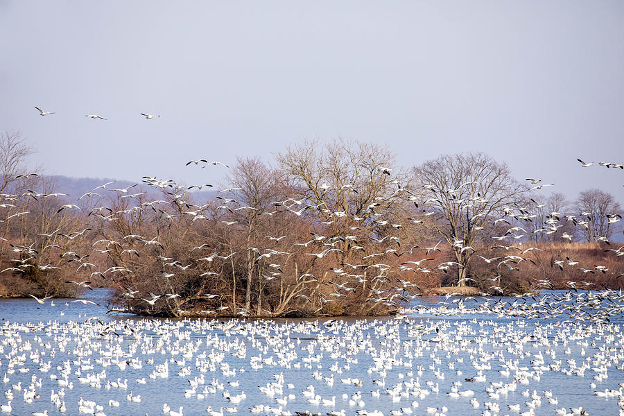 Migrating Snow Geese Over Country Lake Photograph