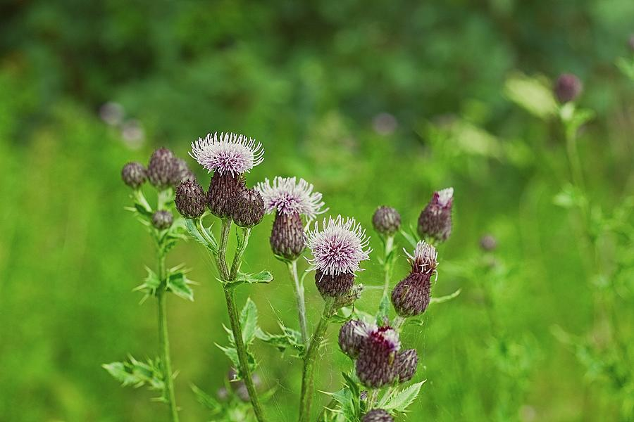 Blur Photograph - Milk Thistle In a Green Field by Watto Photos