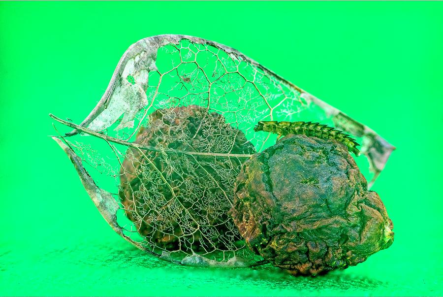 Insect And Skeletonized Leaf Photograph