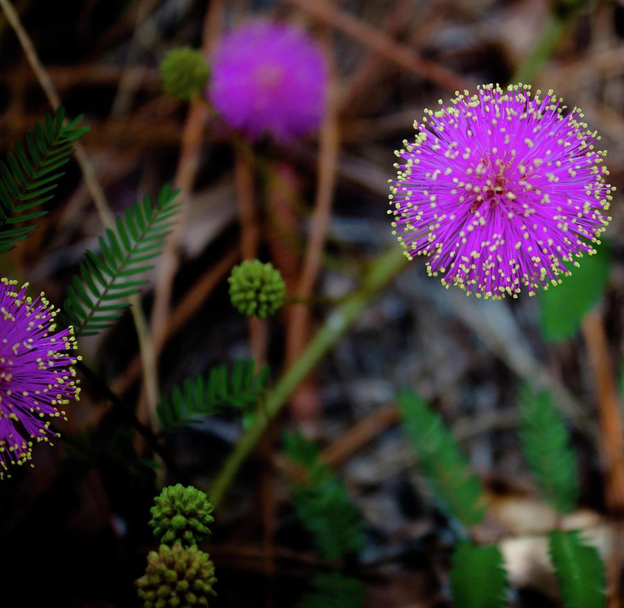 Mimosa Pudica by Debra Forand