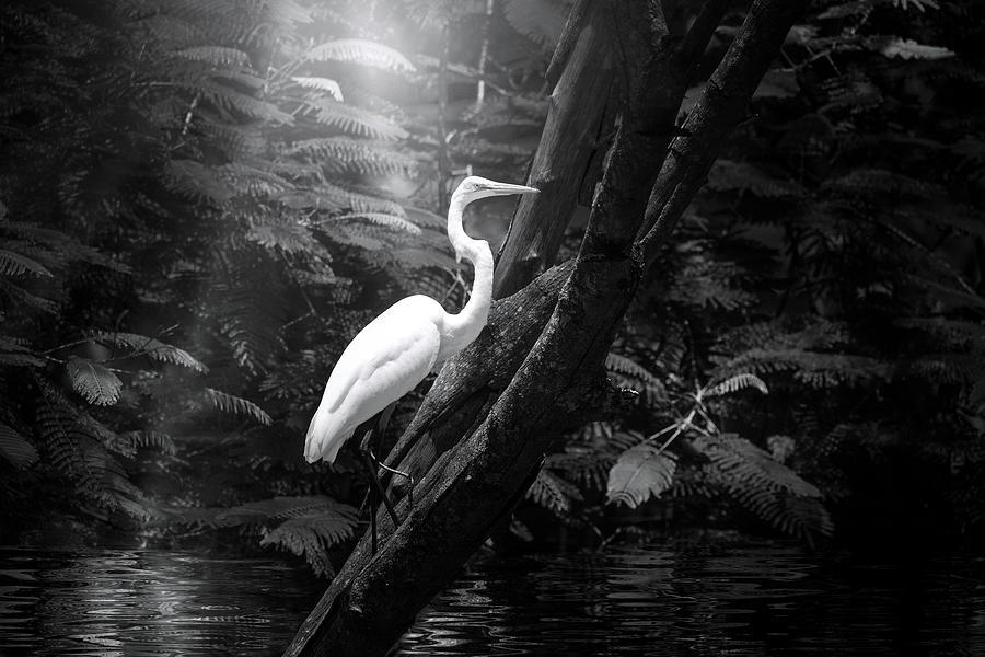 Misty Morning Egret Photograph