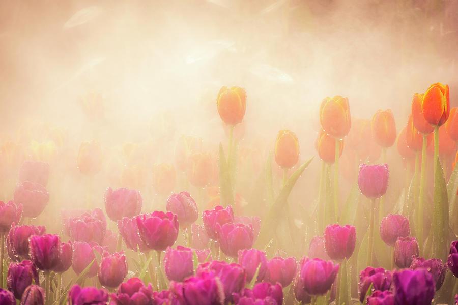 Misty Tulips 2 Photograph