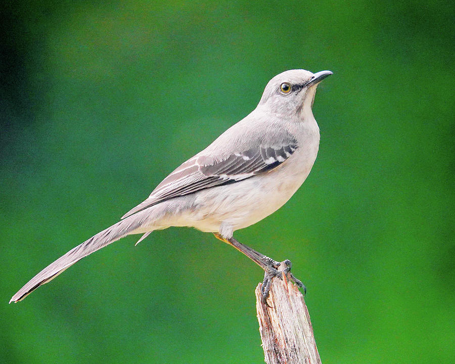 Mocking Bird Photograph