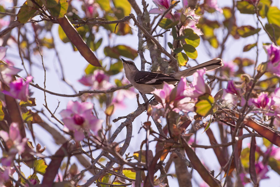 MockingBird on Orchid tree by Zina Stromberg