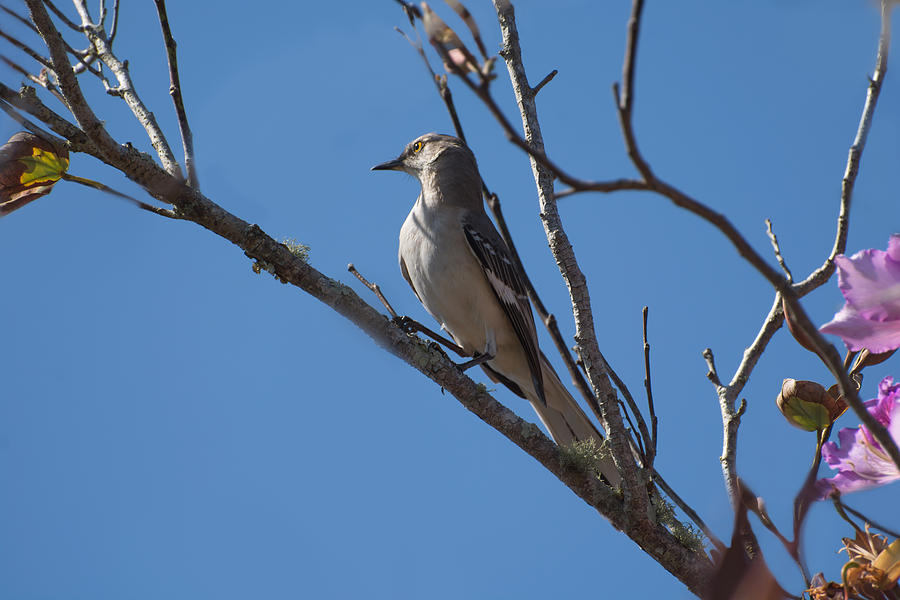 Mockingbird on the branch  by Zina Stromberg