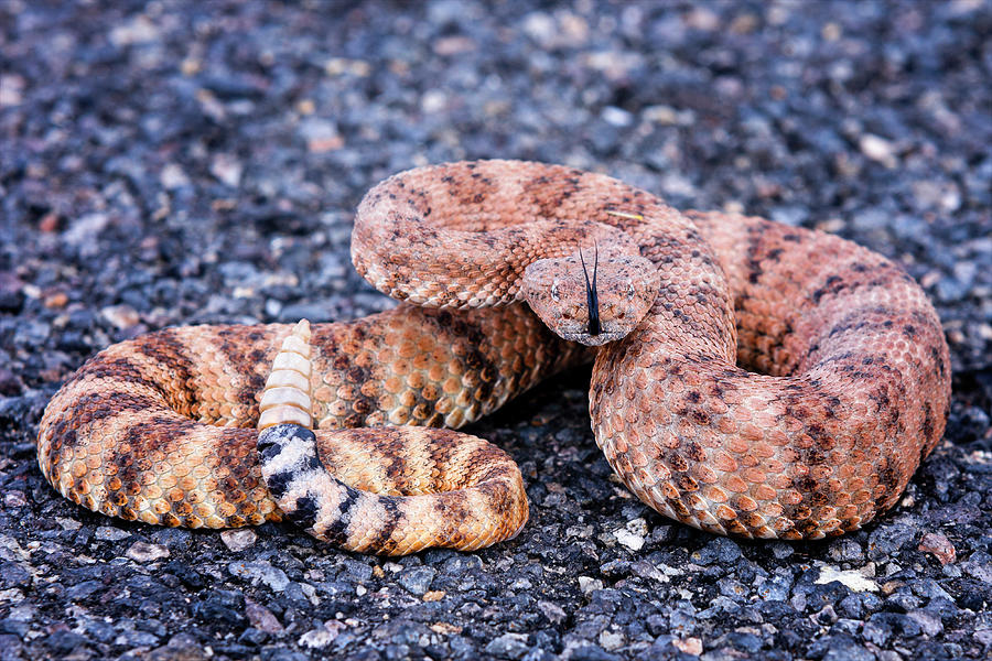 Arizona Photograph - Mohave rattlesnake-#8032 by Jack and Darnell Est
