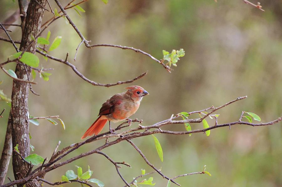 Molting Cardinal Bird Turning Red Photograph