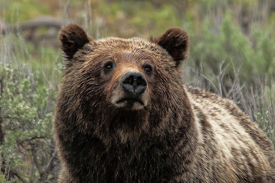 Momma Grizzly by Steve Stuller