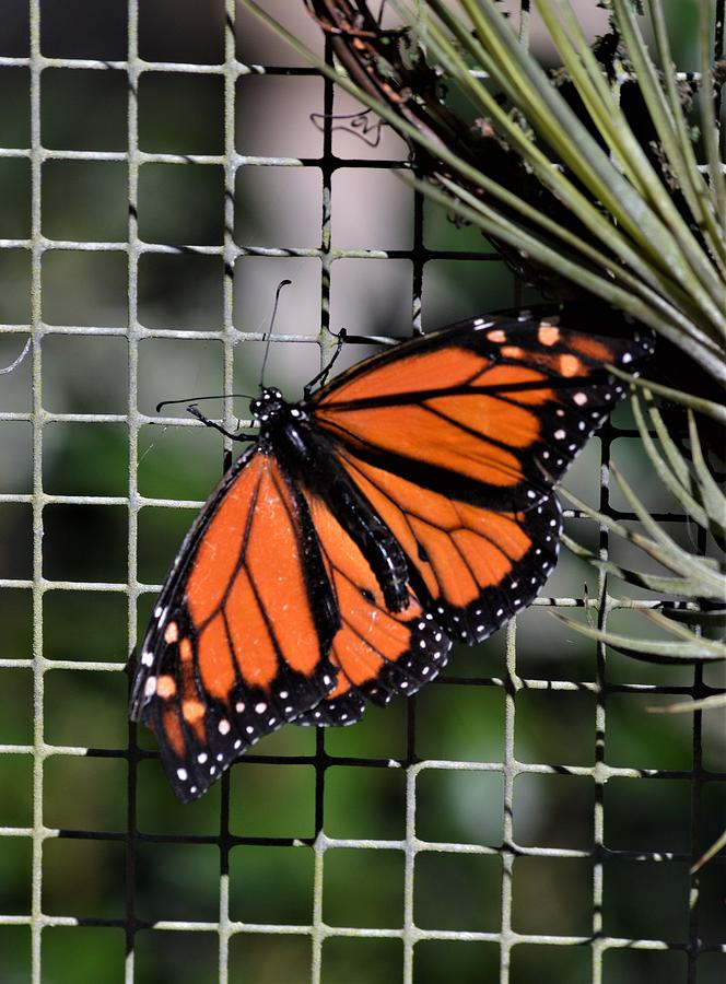 Monarch Butterfly and Air Plant by Warren Thompson